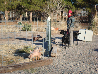 Maggie and Tessie meet the new pigs