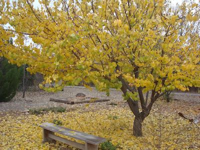 Apricot tree photo